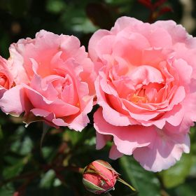 English Miss - Bush Roses