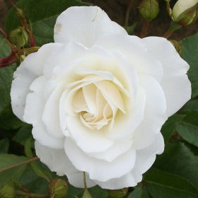 Iceberg - Bush Rose