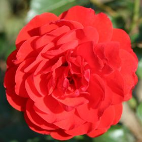 Squire S Roses View Our Range At Squires Garden Centres