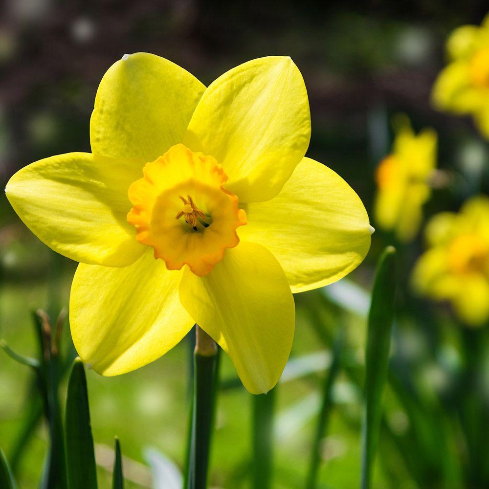 daffodil - photo #28