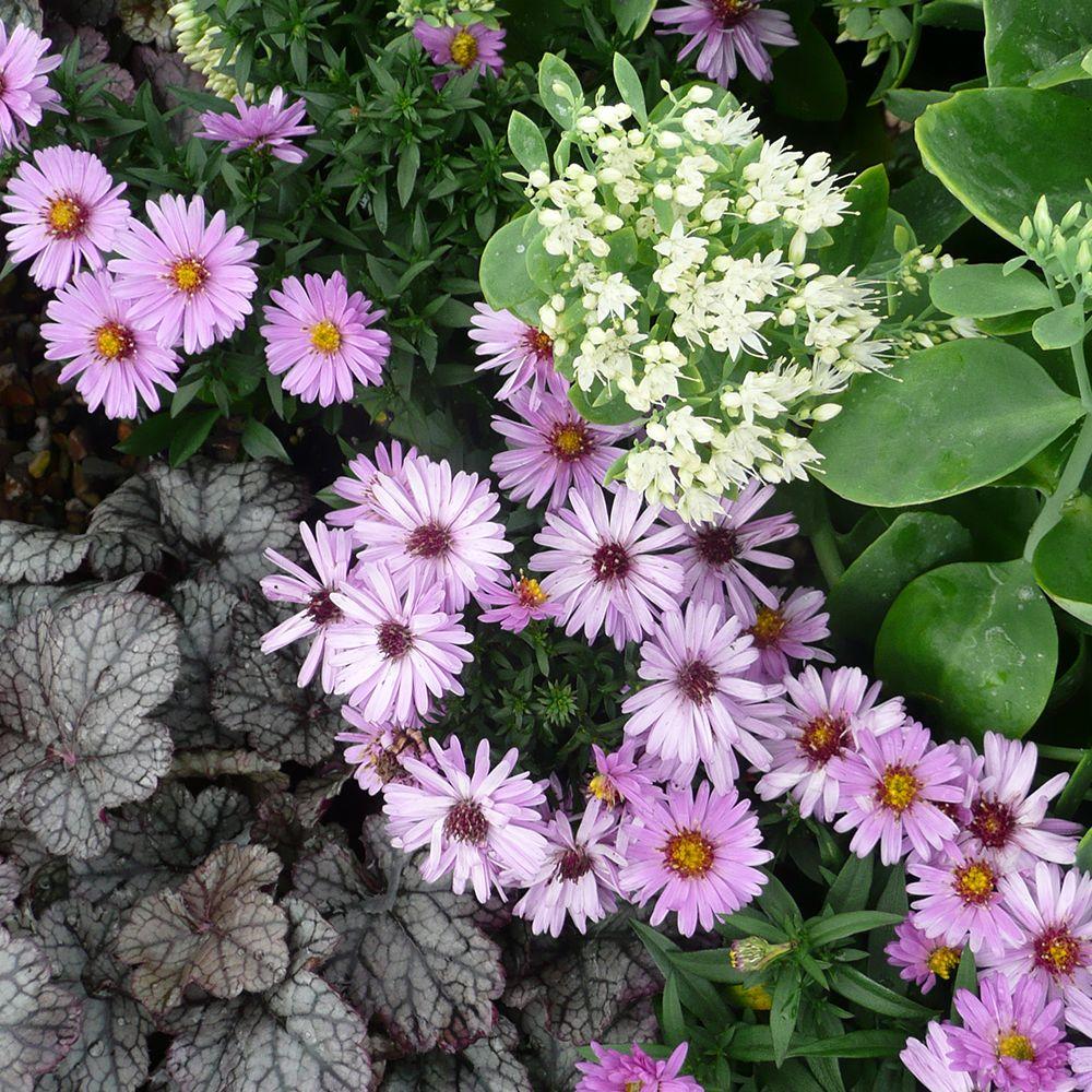 Premium Cottage Garden Plants 1 Litre