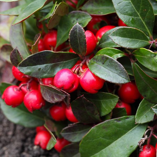 Gaultheria proc. 'Red Diamond'