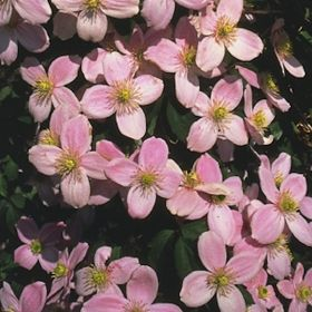 Clematis Montana Pink Perfection 3 Litre