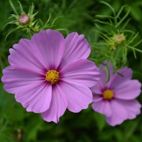 Cosmos Pink 1 Litre