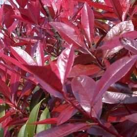 Photinia Red Robin Bush - 18 Litre