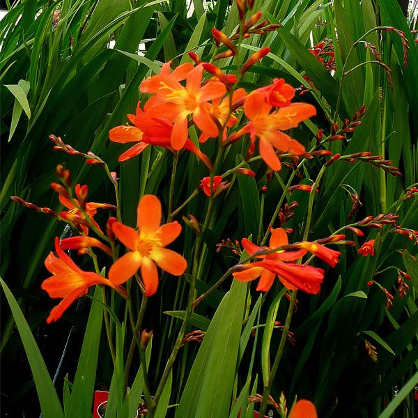 Crocosmia Red King 3 litre