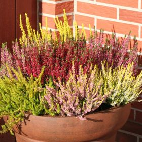 Heathers in Variety 1 Litre