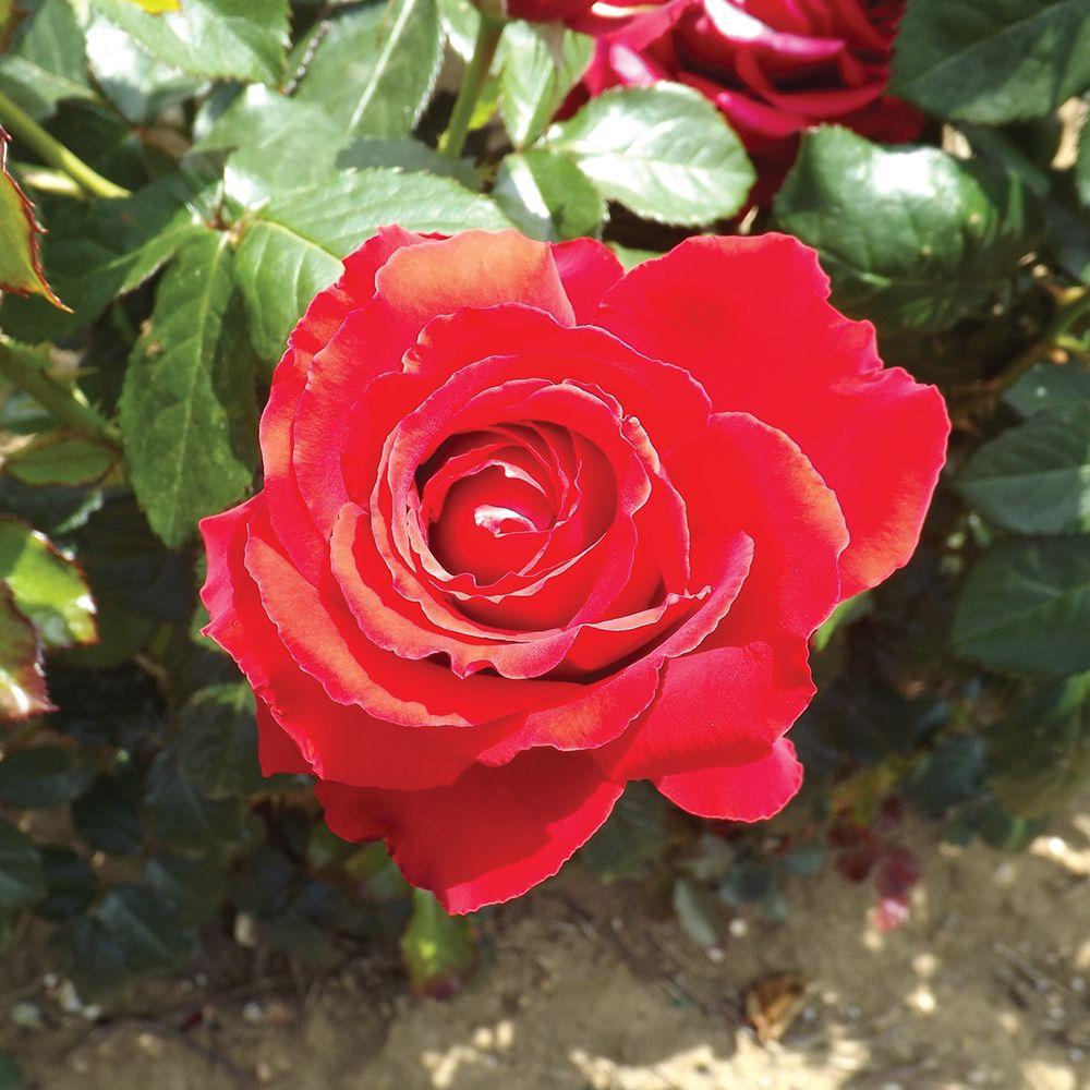 Ruby 40th Anniversary Bush Rose 4 5 Litres Error