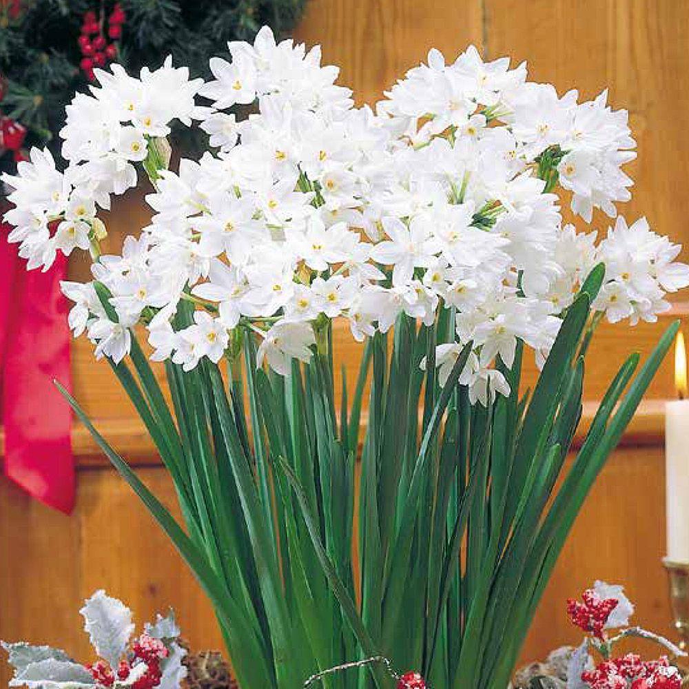 Paperwhites Ziva Christmas Indoor Flowering Narcis Spring