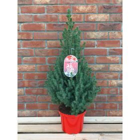 Picea Conica - Pot Grown - 5 Litre