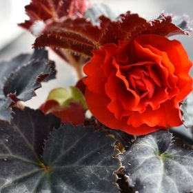 Squire's Begonia Nonstop Dark Leaf Red