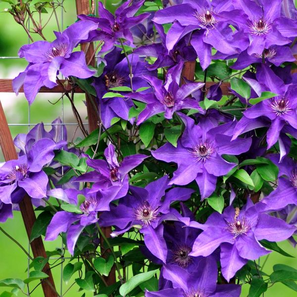 Clematis on Fan Trellis in Variety