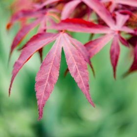 Japanese Acer