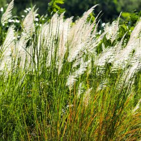 Ornamental Grass 1.5 Litre