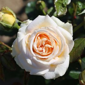 Timeless Cream - Bush Rose