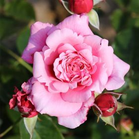 Timeless Pink - Bush Rose
