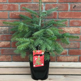 Nordman Fir - Pot Grown - 2 Litre