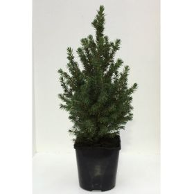 Picea Perfecta - Pot Grown - 2 Litre