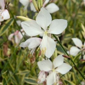 Gaura Walbertons Gold Fountain 2 Litre