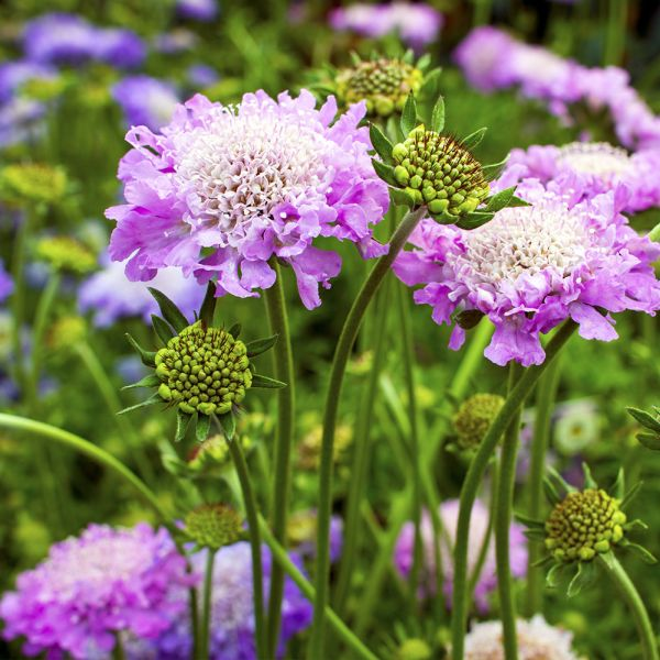Scabious Butterfly Collection