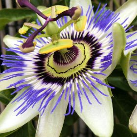 Passion Flower on Tripod 2 Litre