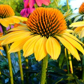 Echinacea Sunseekers 3 Litre