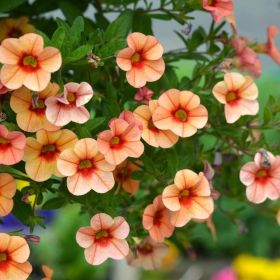 Calibrachoa Neo Orange Red Punch 1 Litre