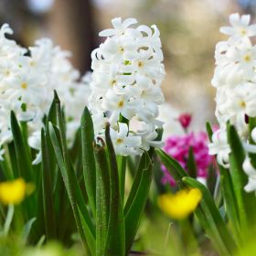 Hyacinth White 1 Litre