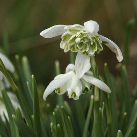 Snowdrop Double Flower 9cm