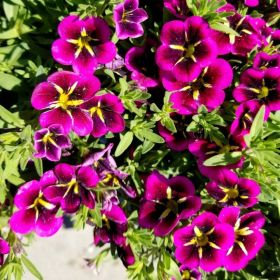 Calibrachoa Good Night Kiss 1 Litre