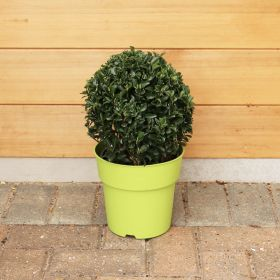 Euonymus Green Wonder 20-25 cm Ball 3 Litre