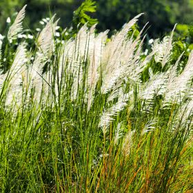 Ornamental Grass - 2 Litre