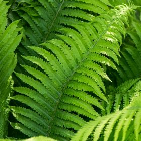 Outdoor Ferns 3 Litre