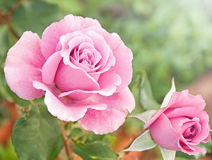 Rose Festival Weekend