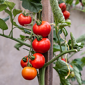Grow Tomatoes In Grow Bags